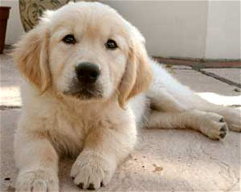 golden retriever puppies for sale in ta golden retriever breeder uk golden retriever puppies sale golden retrievers golden