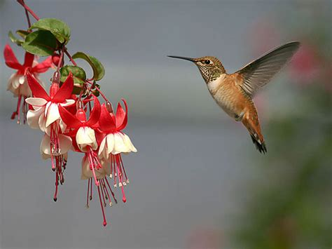 wallpaper birds wallpapers hummingbird wallpapers