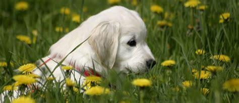 hund ab wann stubenrein welpenerziehung welpen stubenrein hunde fan de