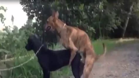 animal big dogs mating mating amazing best animals mating with wow