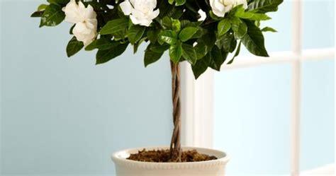 growing gardenia  pot gardenias gardens  plants
