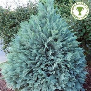 chamaecyparis lawsoniana pembury blue lawsons cypress
