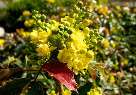 evergreen shrub with yellow flowers evergreen ornamental shrubs for your lovely garden mahonia