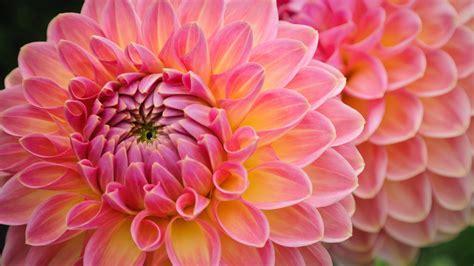 dahlia flowers wallpaper