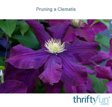 pruning  clematis thriftyfun