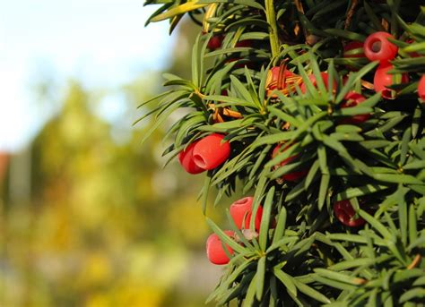 best plants for backyard yew bush backyard privacy 10 best plants to grow bob vila