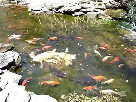 backyard goldfish koi pond in the spring and first feeding