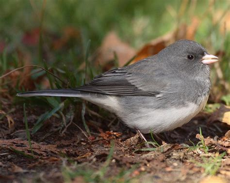 dark eyed junco quot junco hyemalis quot boreal songbird initiative