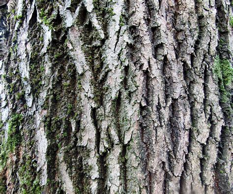 Why Do Sycamore Trees Shed Their Bark by Roby Milling Absolutely Barking