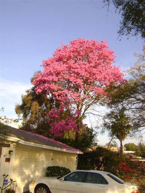 buy tabebuia flowering trees for sale in orlando kissimmee