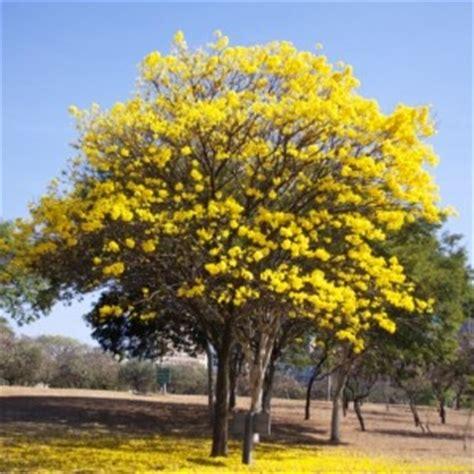 Bibit Tabebuya jual pohon tabebuya kuning terbaik kualitasnya dan