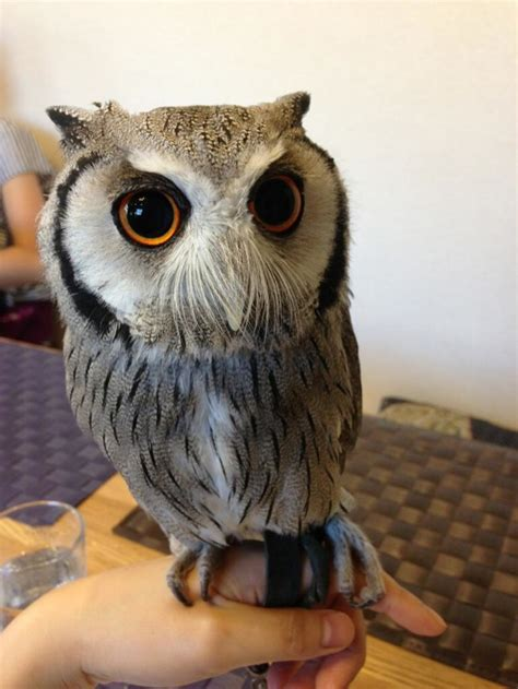 who thinks japan s owl cafes are a hoot kotaku australia