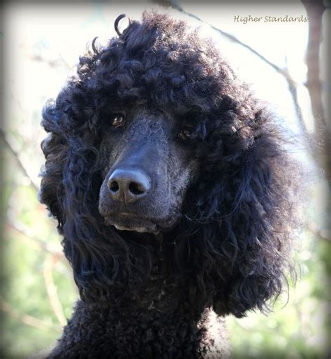 standard poodle face hair cuts 31 best images about pets on pinterest poodles cute dog