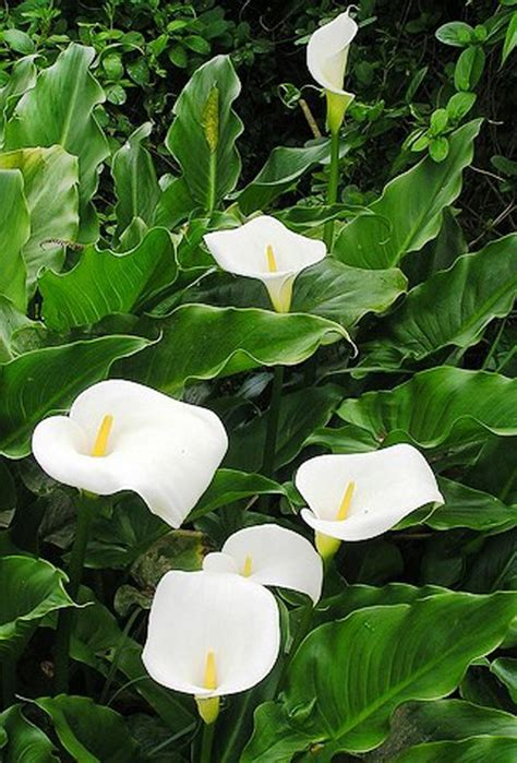 zantedeschia aethiopica pack of 10 misc flower bulbs and collections