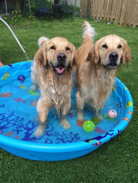 golden retrievers in pool 17 best images about golden retrievers on baby pool pets and happy
