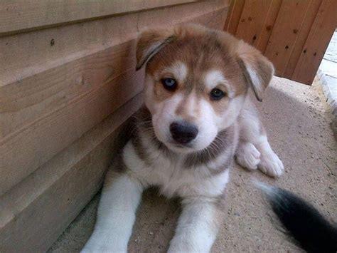 utonagan puppies for sale utonagan pups 7wks one left derby derbyshire pets4homes