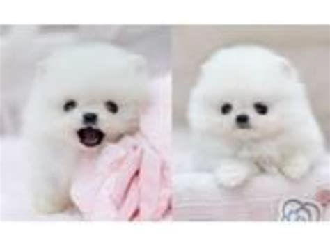 free pomeranian puppies in arkansas pomeranian puppies for adoption animals arkansas