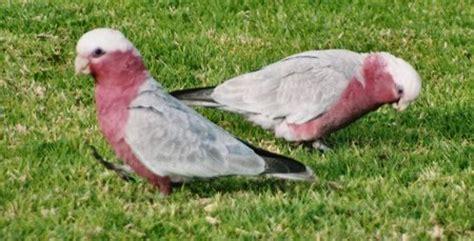 backyard galah australian birds backyard birds