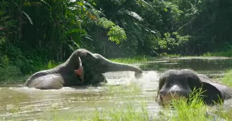 Elephant In Bathtub by 2 Elephants Act Like When Taking Bath For The Time In Years