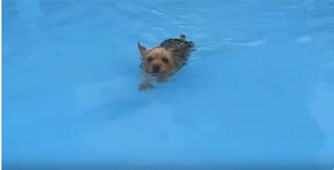can yorkies swim author at my yorkie world page 2 of 6