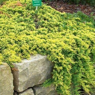 Acer Cestre Globosum 5413 juniperus horizontalis golden carpet id 233 es de plantes