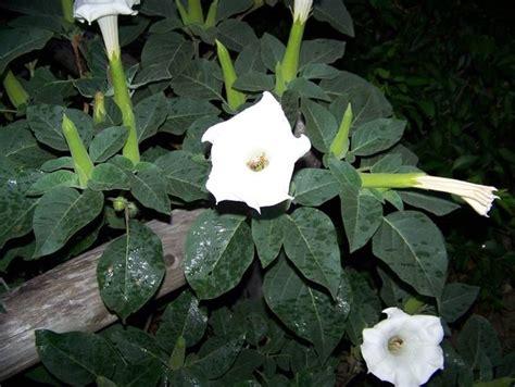 datura fiore datura datura piante da interno datura appartamento