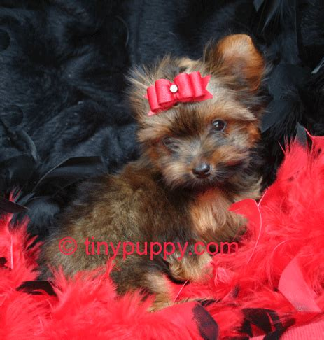 golden teacup yorkie golden yorkie puppies for sale in breeds picture