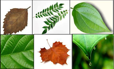 jenis jenis daun berdasarkan tulang daun beserta contoh