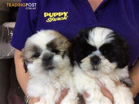shih tzu puppies for sale brisbane shih tzu puppies at puppy shack brisbane for sale in brisbane qld shih tzu puppies