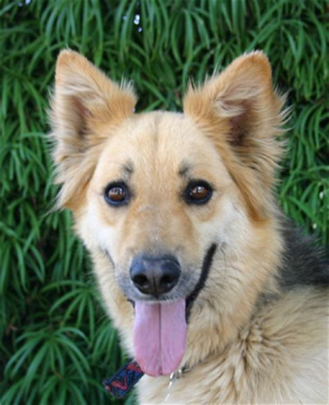 german shepherd mix golden retriever golden retriever german shepherd mix black