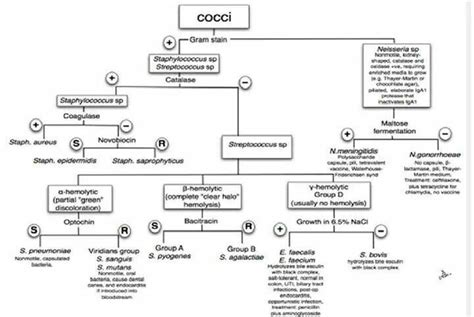cocci flow chart medical laboratory scientist
