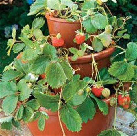 vasi per fragole vendita fragole sul balcone la colonna di balconette fiori e foglie