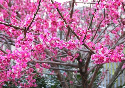 bilder nadelbäume prunus mume beni shi don die ume duftende japanische