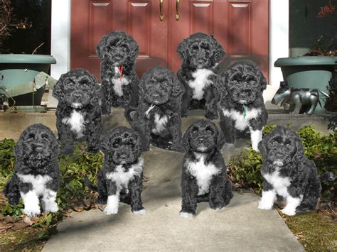 pwd puppies 1000 images about portuguese water dogs on portuguese water dogs and wizards