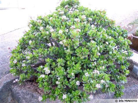 Cactus Planter by Arbre 224 Jade Crassula Ovata Conseils De Culture