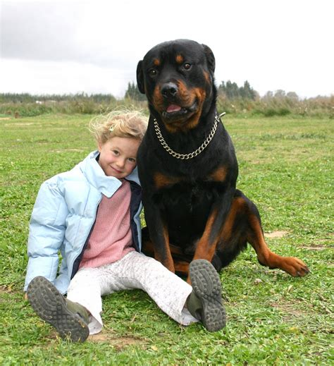 largest rottweiler breed large breeds just b cause