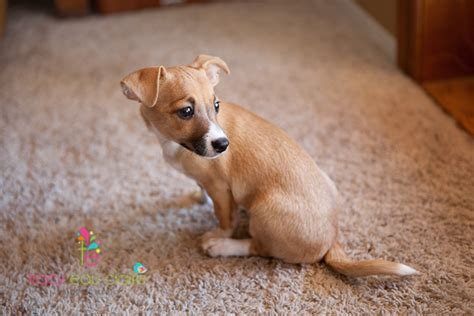 shelter puppies for adoption chihuahua puppies rescue breeds picture