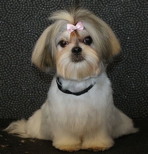 shih poo haircut pictures google search pooch haircuts for shi poo dogs pictures cute hairstyles