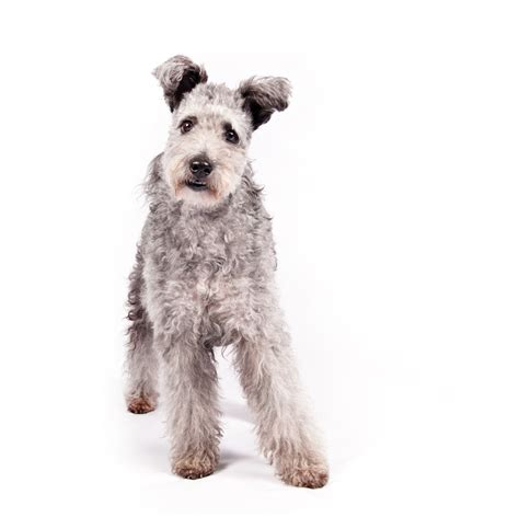 american kennel club breeds american kennel club s newest breed meet the lively pumi chicago tribune