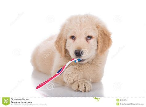 golden retriever teeth golden retriever puppy brushing his teeth front view stock photo image 51901374