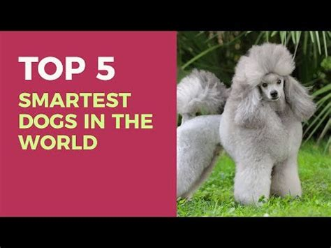 top 5 smartest dogs top 5 ways to smart dogs of the asian funnydog tv