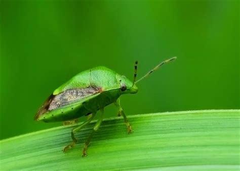 Insektisida Furadan 3g jenis hama pada tanaman padi ragam tanaman