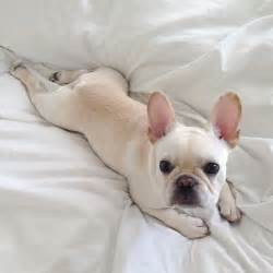 French bulldogs french girls puppies cute baby 30 image animal