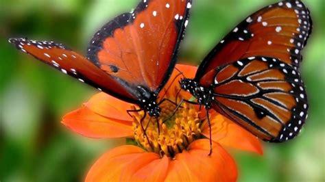 imagenes d mariposas hermosas las mariposas m 225 s bellas del mundo youtube