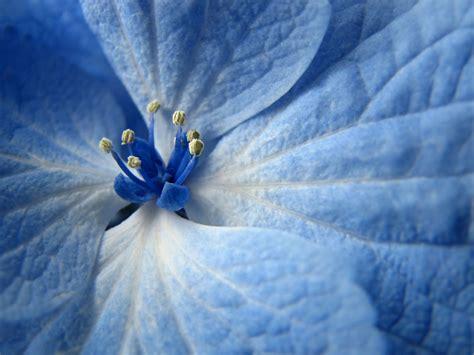 blue flower wallpapers hd wallpapers id