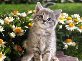 beautiful cat wallpaper 13713