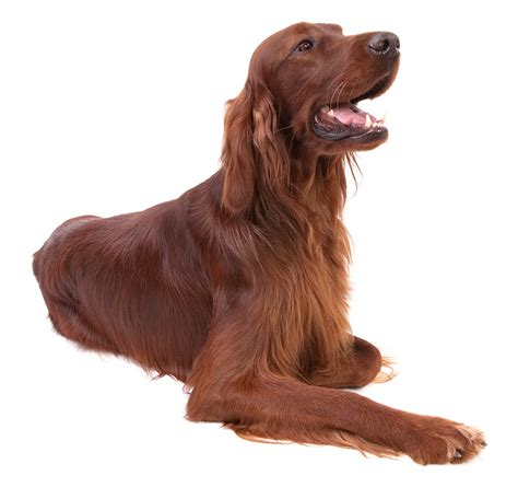 irish setter show dogs for sale irish setter fetchem puppyfinder