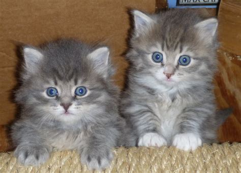 gray with blue 54 most beautiful grey siberian cat photos and images