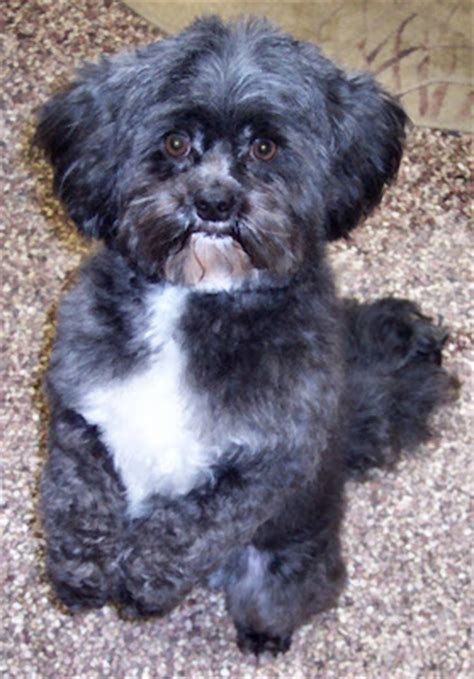 shih tzu poodle mix haircuts the healthy shih tzu poodle mix grooming