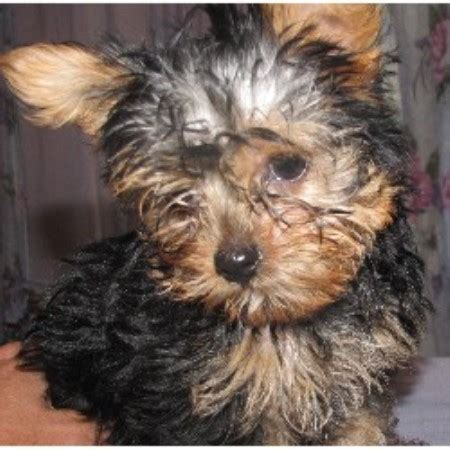 yorkie rescue milwaukee yorkie breeders in virginia picture breeds picture